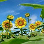 日照時間、日本一。明野で向日葵畑を愛でる。